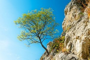 tree growing out of cliff